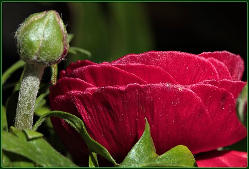 Passion in a red flower, hope in a green bud | by maggiolina58