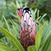 Protea laurifolia, Grey-leaf protea/laurel protea, Kirstenbosch