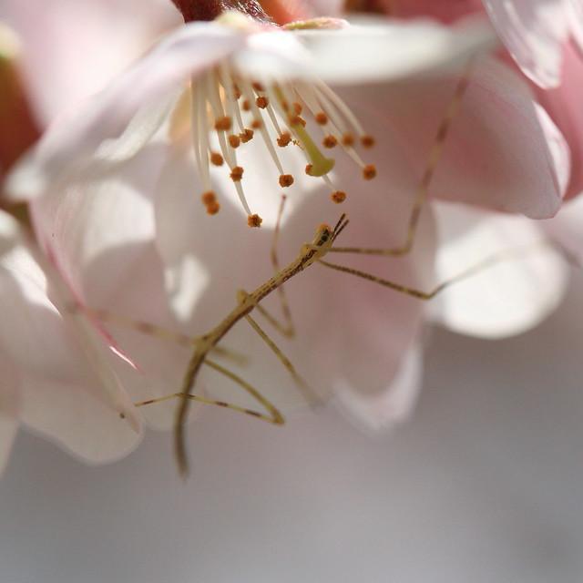Phasmatodea? / 七節(ナナフシ)?