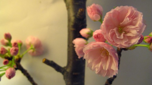 cherry blossoms | by amy_melson