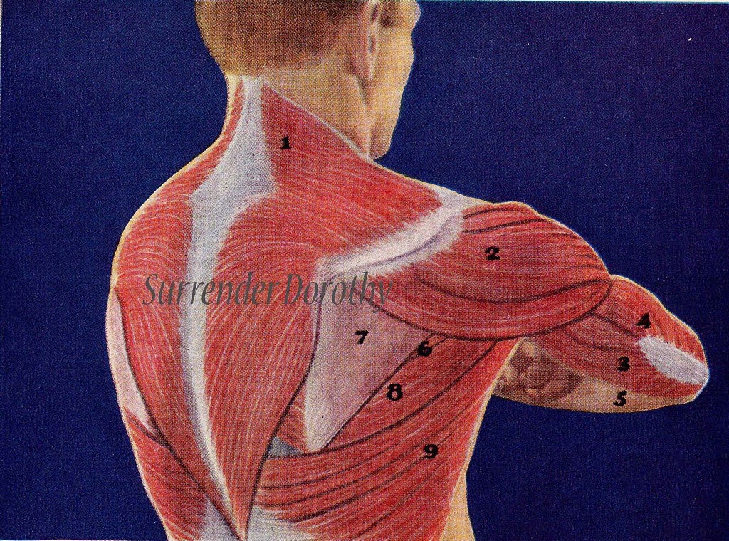 Back Muscles Human Anatomy 1933 | SurrendrDorothy | Flickr