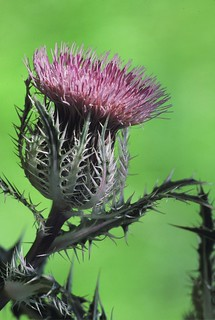 Thistle | by Steve Russell Photography