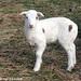 Ewe Lamb Portraits 5