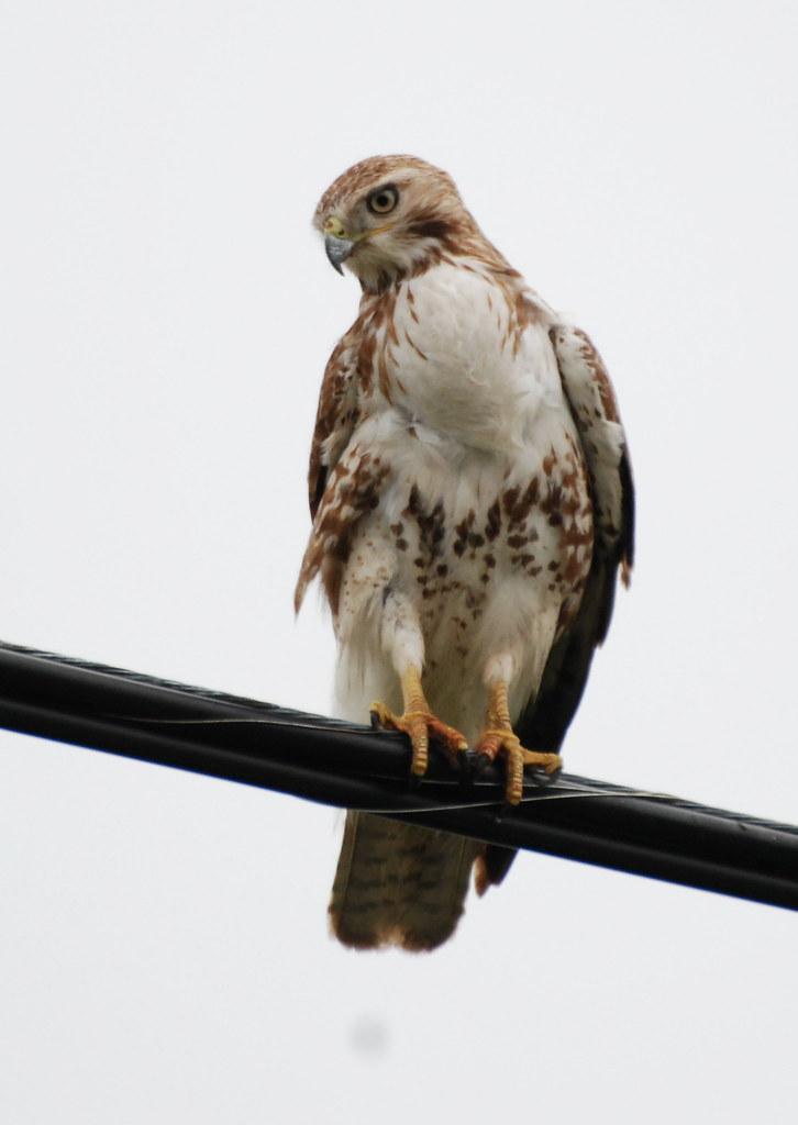 Dsc 8043 Immature Broad Winged Hawk Putneypics Flickr