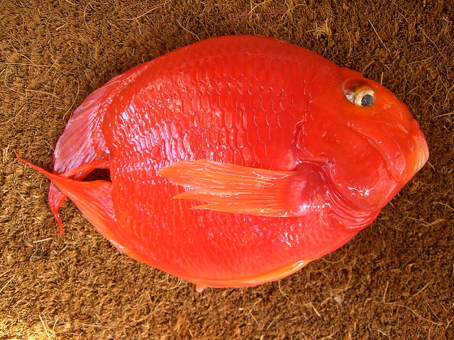 Fish 179 blood parrot cichlid fish 3 of 3 019 2010 for Red parrot fish