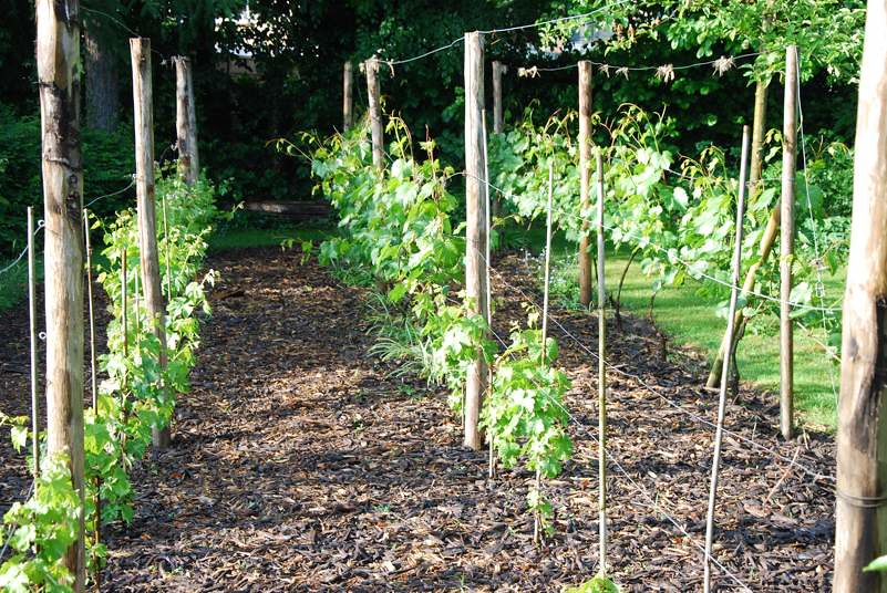 "Small Backyard Vineyard backyard vineyard | a small ""garden"" vineyard with marechall… 