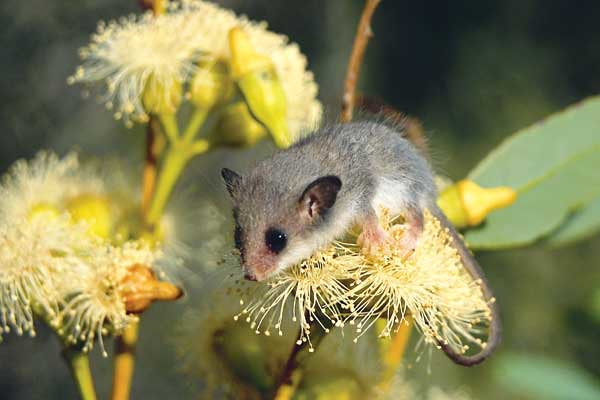 Western Pygmy Possum Western Pygmy Possum Perches On A Flo Flickr
