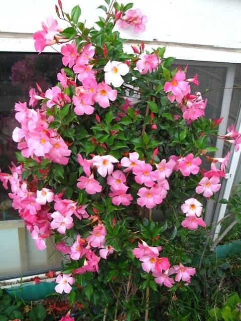 Mandevilla sanderi flickr photo sharing for Dipladenia sanderi