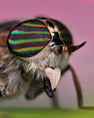 Horse Fly Portrait | by VonShawn