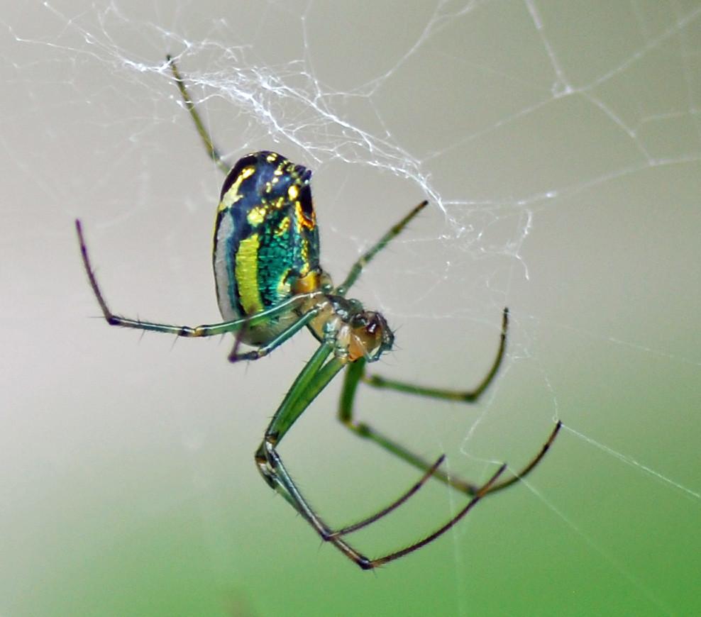 Green Garden Spider Melody Mcclure Flickr
