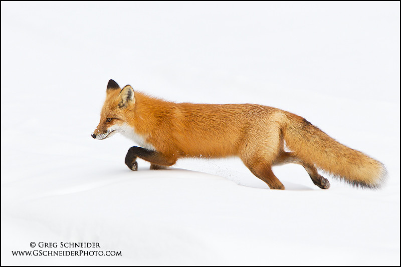 Red Foxes Hunting