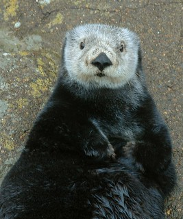 Sea Otter | by Oregon Coast Aquarium