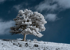Lone Tree (infrared) | by sandrift