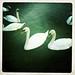 Danube swans