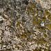 Yellow moss grown on calcarous rock