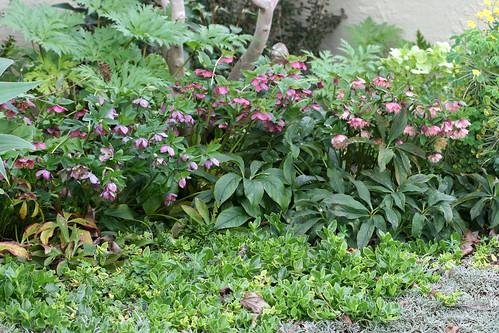 helleborus orientalis garden bloggers bloom day flickr. Black Bedroom Furniture Sets. Home Design Ideas