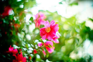 Camellia | by moaan
