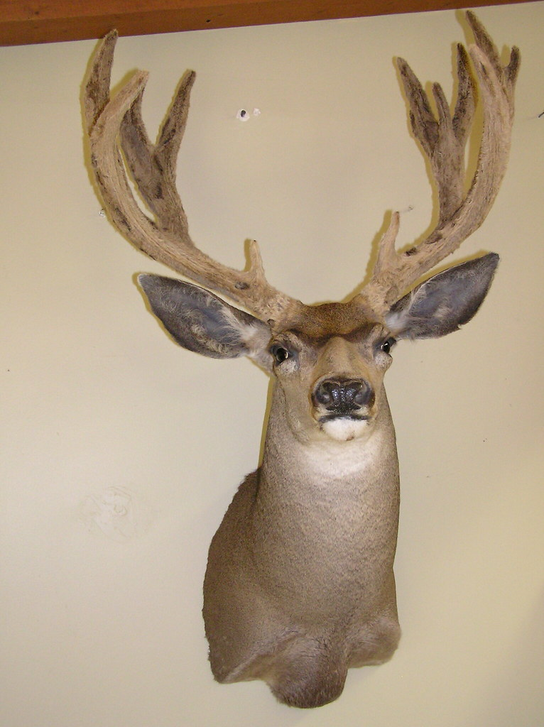 Mule Deer Shoulder Mount Mule Deer Shoulder Mount By Don