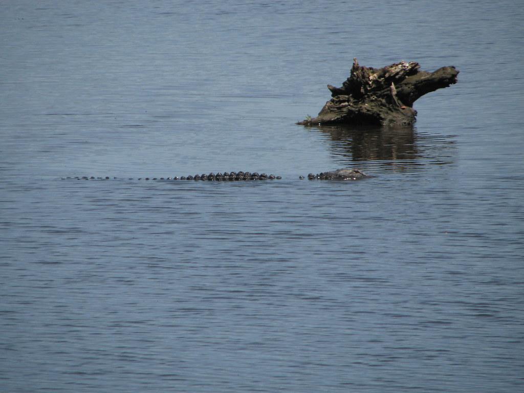 Alligator Ogeechee River Georgia Order Crocodylia Famil Flickr