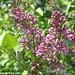 Lilacs! 3