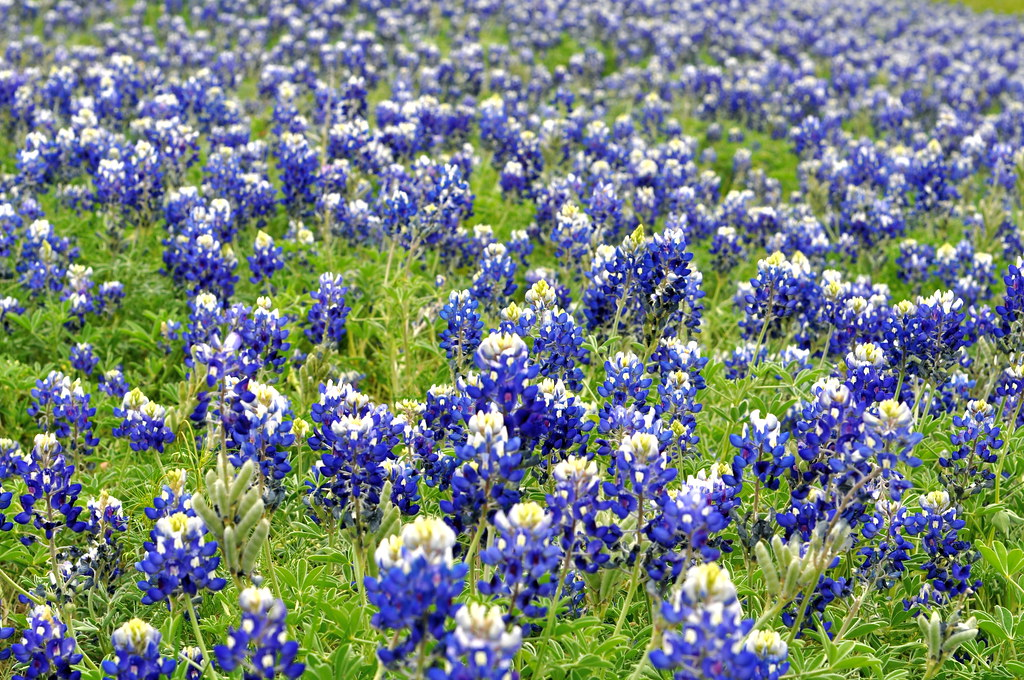 texas bluebon s bluebon  patch in the rolling hills