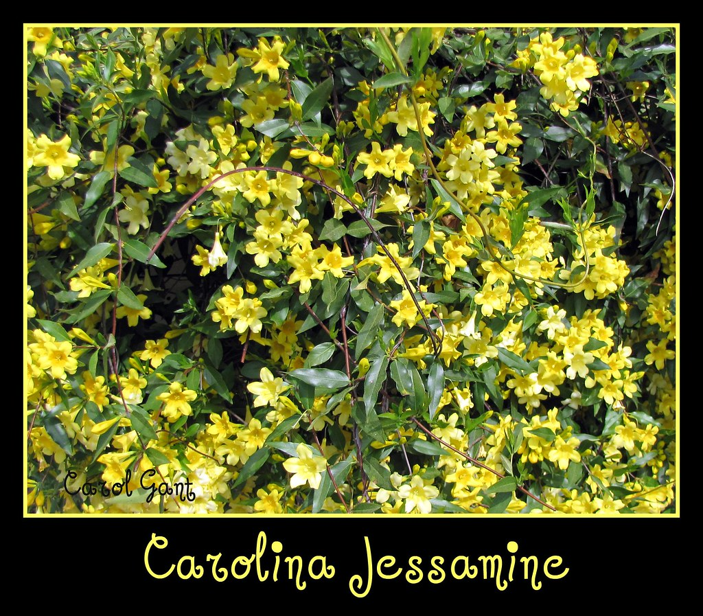 South carolina state flower carolina jessamine covers a for R kitchen south carolina