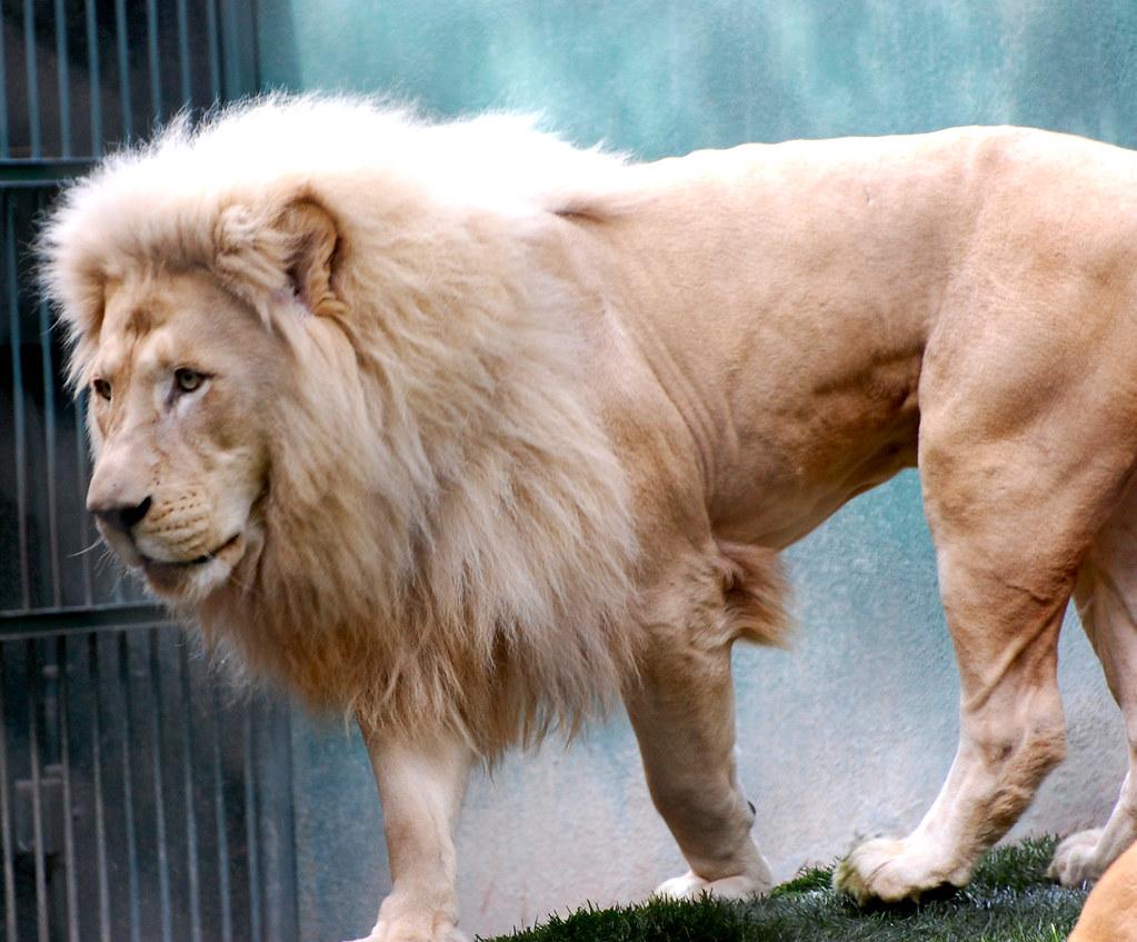 Lion | Taken within the Secret Garden of Siegfried & Roy at … | Flickr