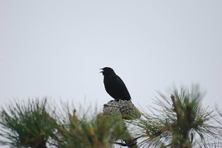 Red-winged Blackbird BM 3-1-10 2 | by THE Holy Hand Grenade!