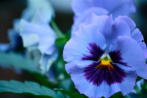 Blue pansies | by L. McG.-E.