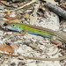 Six-lined Racerunner, Aransas NWR, Texas