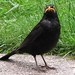 IMG_8060 - Male Blackbird
