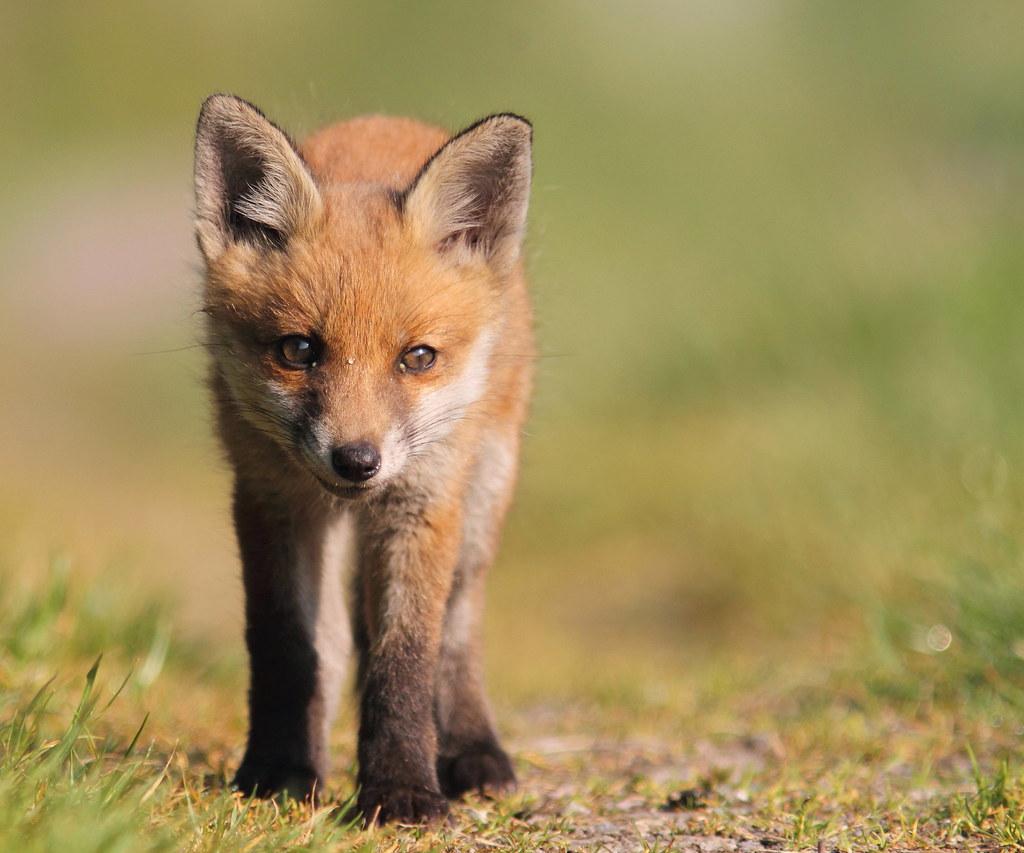 Fox Cub This Might Be The Last Fox Cub Shot I Post This Sp Flickr