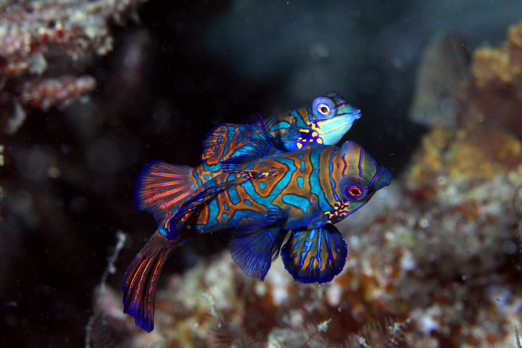 Mandarin Fish Mating | Female on top, male below. | Klaus ...