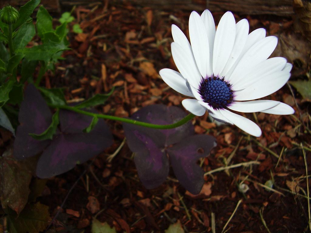 White flower with blue center todd gunderson flickr white flower with blue center by todd gundersomething mightylinksfo