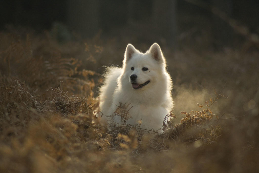 White Samoyed Dog This Image Is In The Public Domain