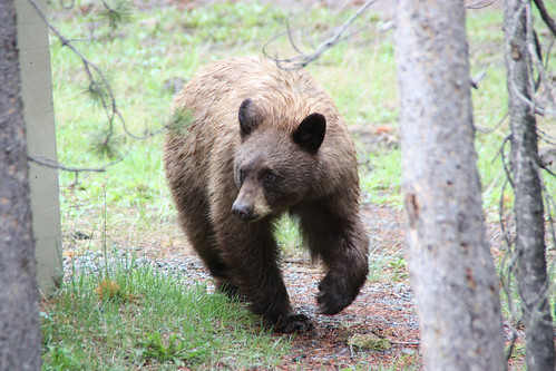 Grizzly bear | by S-t-v