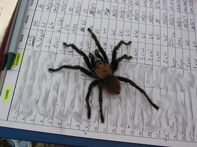 Missouri Tarantula | Missouri Tarantula; Hollister; Photo ...