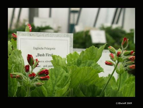 gaertnerei bach wien englische pelargonie 39 bush fire 39 03 flickr. Black Bedroom Furniture Sets. Home Design Ideas