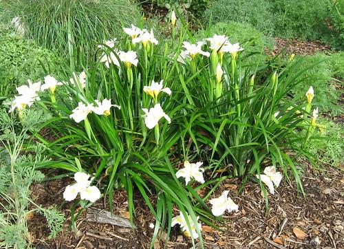 Iris 39 canyon snow 39 kathy ormiston padg master - Master gardeners santa clara county ...