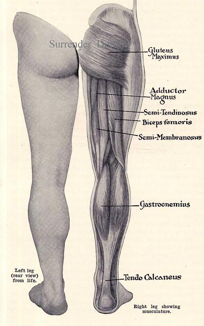 Leg Muscles Posterior Human Anatomy 1933
