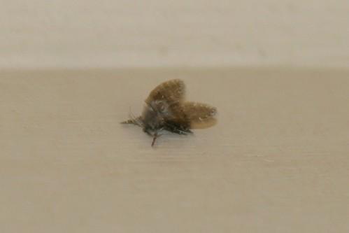 Clogmia Albipunctata Moth Fly A Moth Fly Or Bathroom