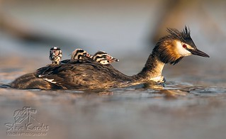 Great Crested Grebe | by Stefan_Kardos