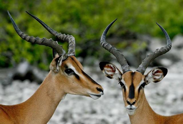 Impala Animal Face Black Face Impala