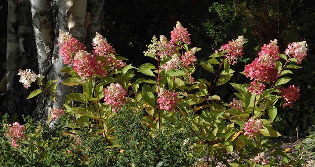 Quick Fire Hydrangea Bush Hydrangea 'quick Fire'