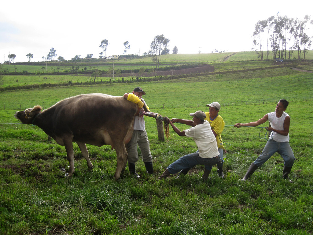 20091113.131214 - Cow giving birth (Santa Martha Animal Re ...