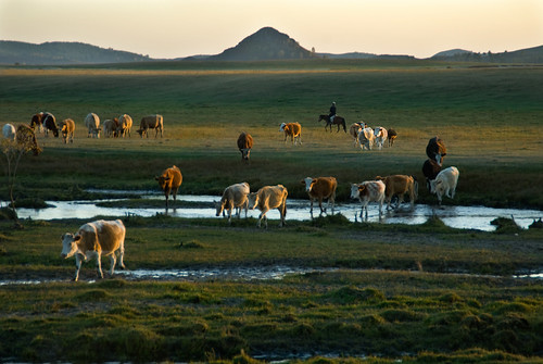 1239 Get the cattle home--Bashang Grassland , China | by ngchongkin
