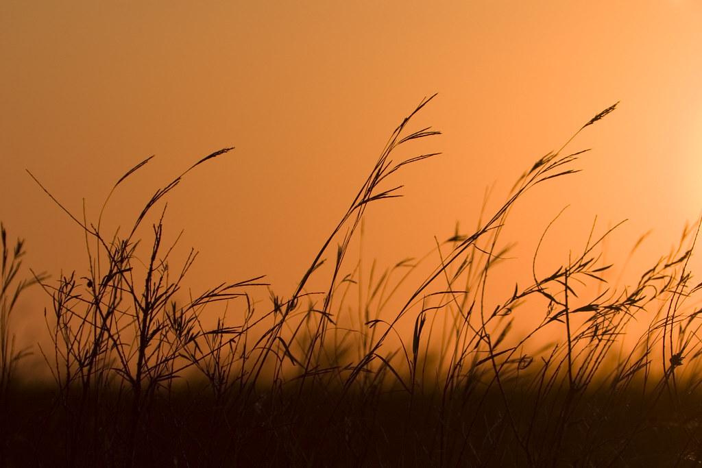 little bluestem prairie grass silhouette