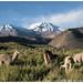 alpacas, Nevados de Putre (Cerro de Taapaca)