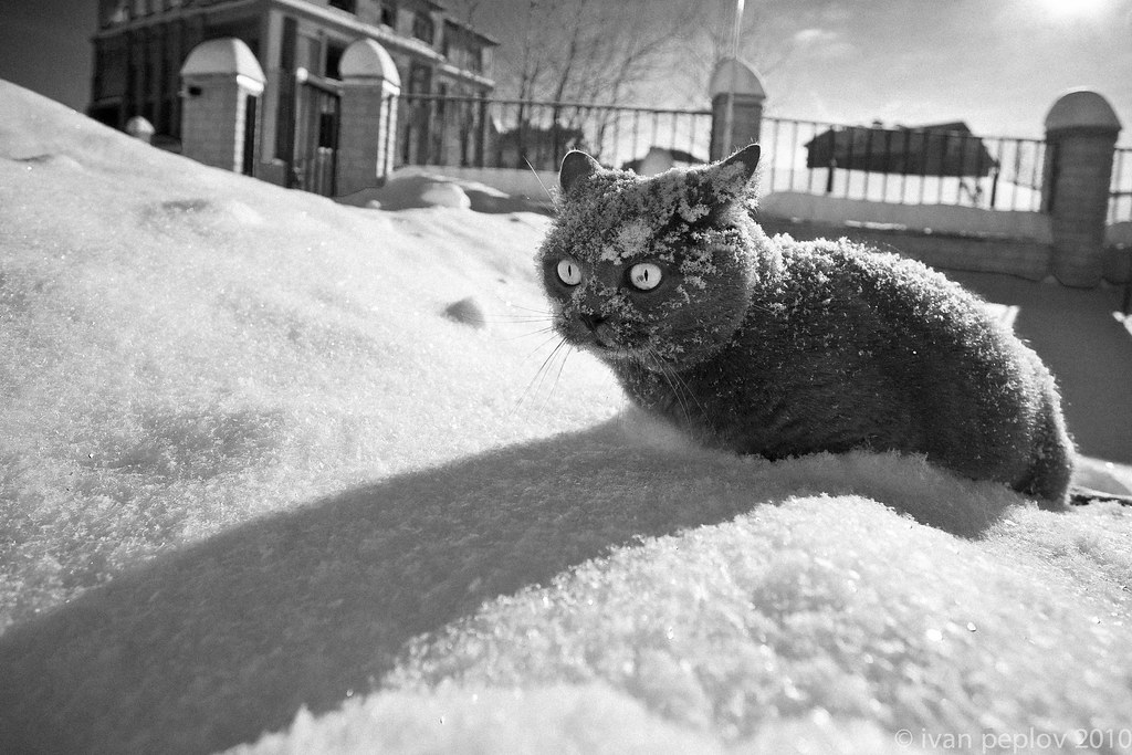 Frozen Black Cat