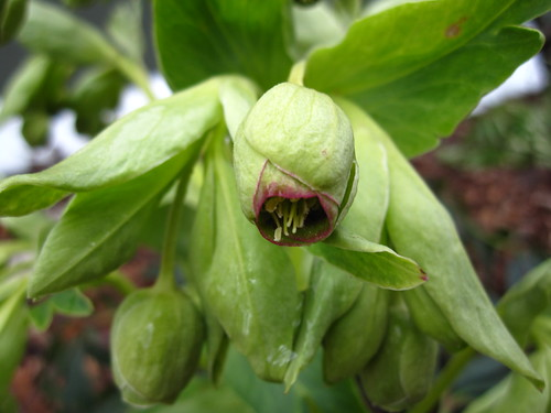 Hellebore | by Brooklyn Botanic Garden